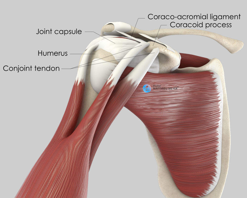 Normal shoulder (anterior view)