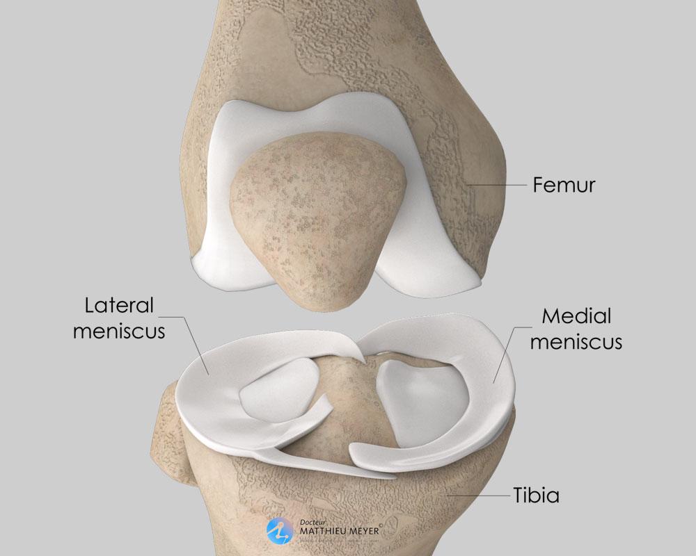 Meniscus anatomy