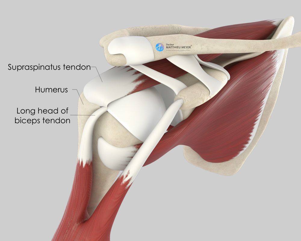 Normal shoulder (anterior view)