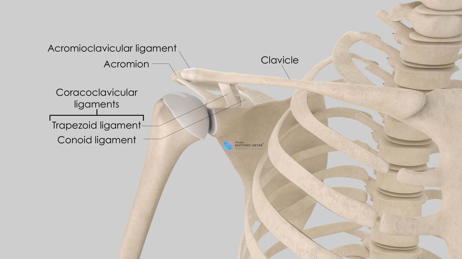 Anatomy of the acromioclavicular joint